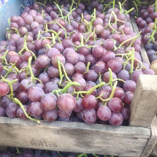 潍坊临朐县 小红串巨峰葡萄价格0.5--08