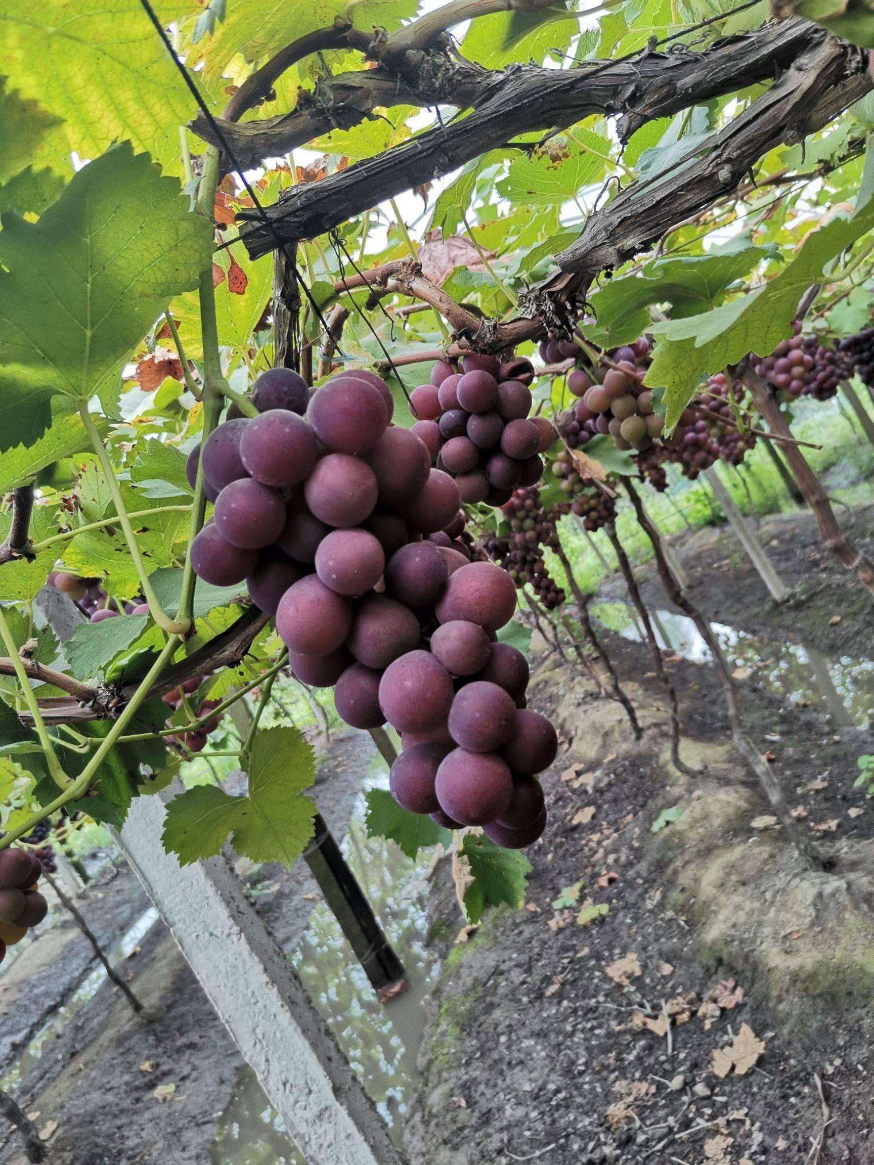 巨峰葡萄 通货大量。甜度高
