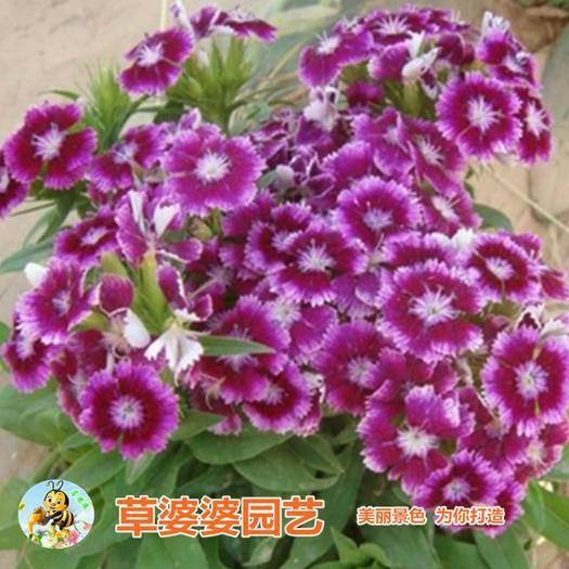 宿迁沭阳县 瞿麦种子石柱种子包邮景观花海优品花种