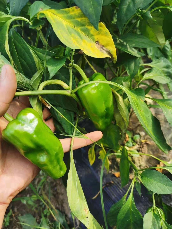 菜椒 5~10cm 微辣 靑色