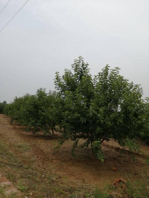 黑珍珠桑葚 常年大量供应优质桑椹干桑椹树苗桑椹酒等。桑椹产品
