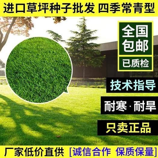 宿迁沭阳县高羊茅种子 高羊茅草籽进口耐践踏庭院不修剪护坡绿化草皮种籽四季青草坪