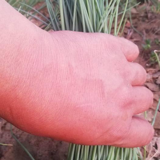 内蒙古自治区鄂尔多斯市达拉特旗沙葱 不施化肥不打农药,口味纯正,自制有机肥加人工拔草确保食品安全
