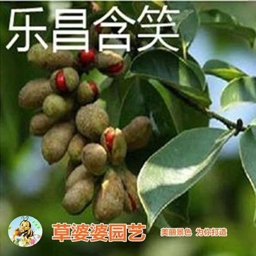 沭阳县含笑花种子 含笑种子新种子包邮