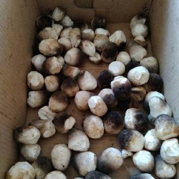 草菇 干货 混级统货 人工种植