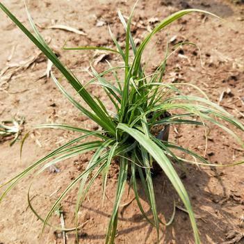 崂峪苔草 苔草 青绿苔草 地被 绿化 多芽 过路青 四季青
