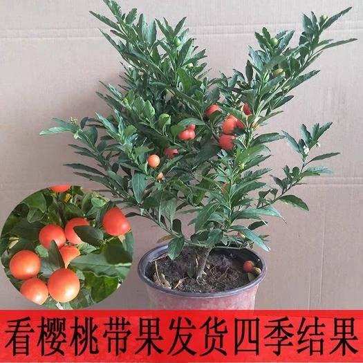 沭陽縣 盆栽觀果植物 冬珊瑚 吉慶果 看櫻桃 開心桃 珊瑚豆花卉綠