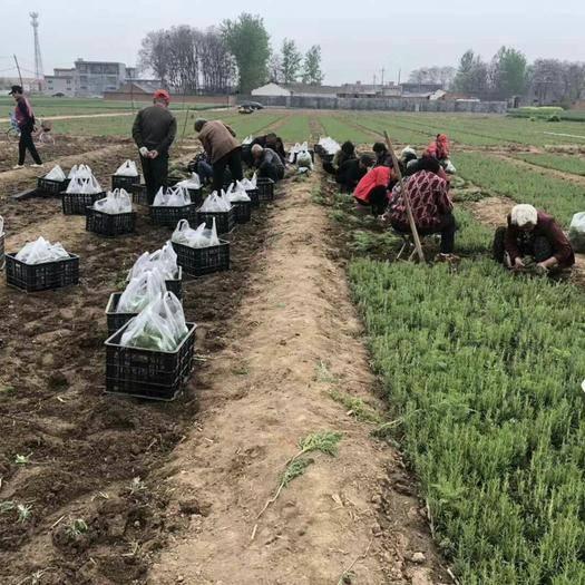 重庆市云阳县 迷迭香小叶幼苗出售,干叶或者鲜叶包回收,公司给签合同