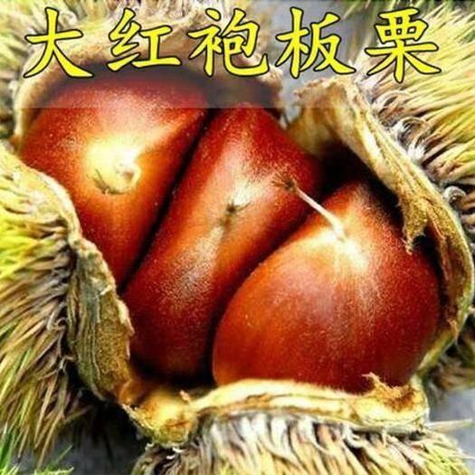 临沂平邑县大红袍板栗苗 基地直销当年挂果