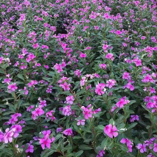 酒泉肃州区长春花种子