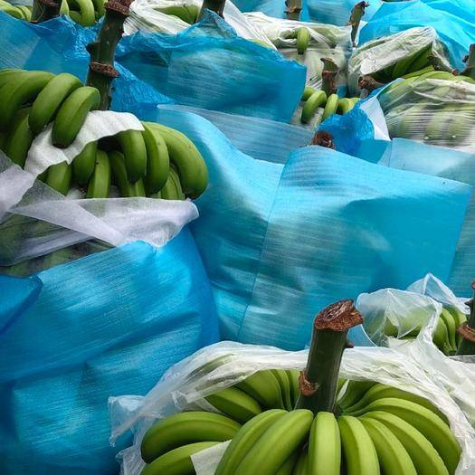 文山市威廉斯香蕉 好货,便宜,需要联系。138+8763+8449