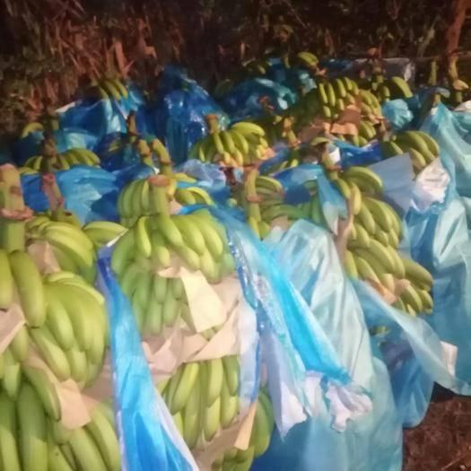 文山马关县河口高把香蕉 七成熟