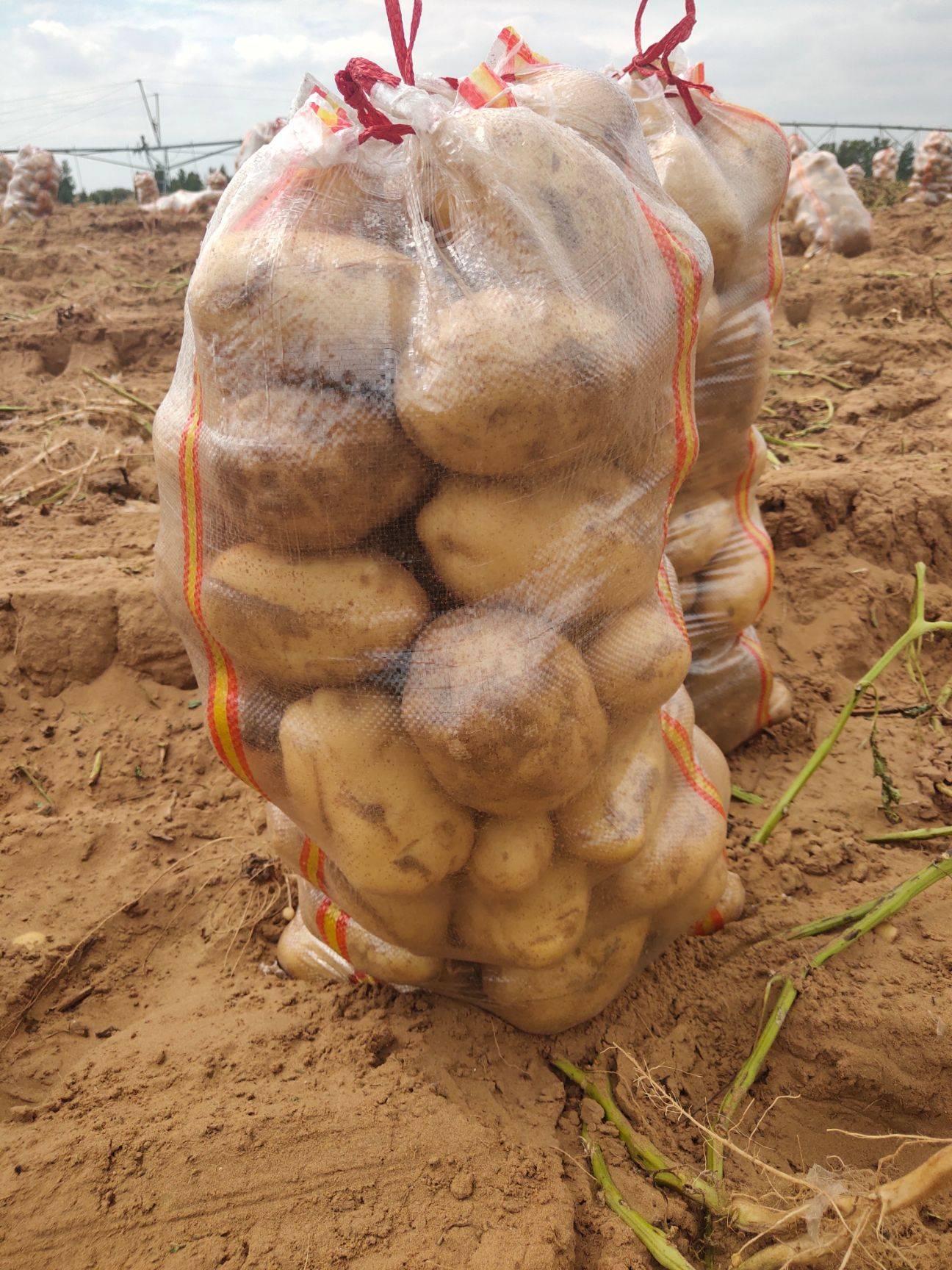 黃心土豆大量供應