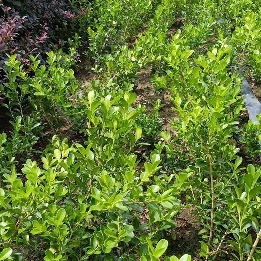 徐州新沂市 綠化工程苗獨桿黃楊自產自銷全國上車價