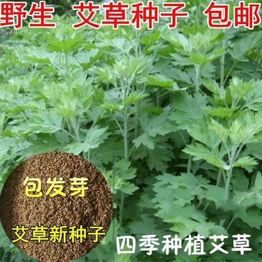临沂郯城县 散装药用艾草种子 食用草艾绒香艾草 四季种 青蒿 驱虫艾蒿艾