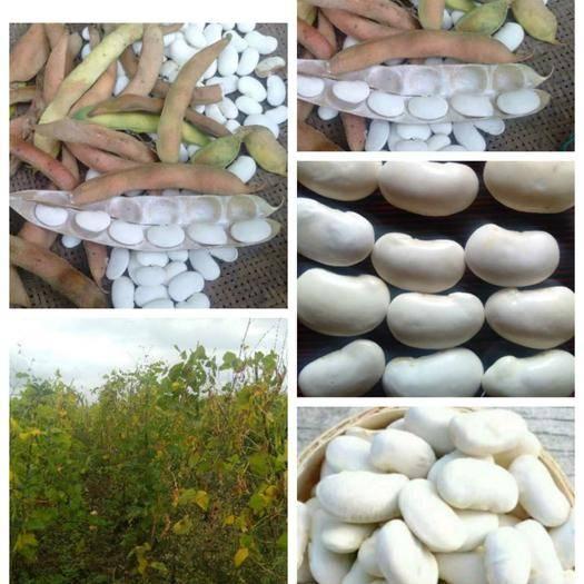 畢節威寧彝族回族苗族自治縣白蕓豆 貴州高原明珠農家自種生態