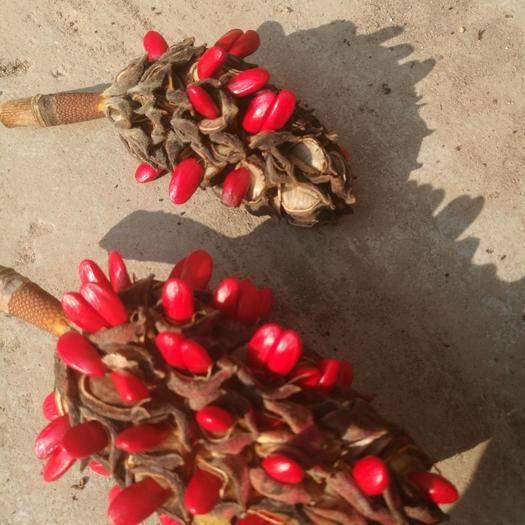 驻马店确山县 2019年新产优质广玉兰种子,各种苗木种子出售。