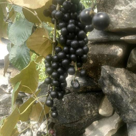 罗城仫佬族自治县 原生态高山*葡萄出售,是酿葡萄酒优质原料,价格便宜!