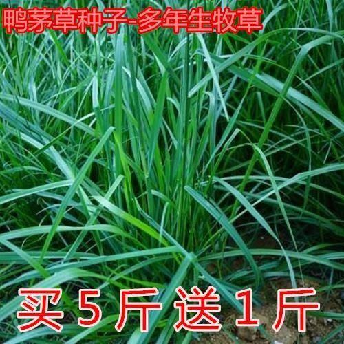 沭阳县 牧草种子鸭茅种子精选鸭茅草籽多年生刈割放牧干草青贮家畜牧草