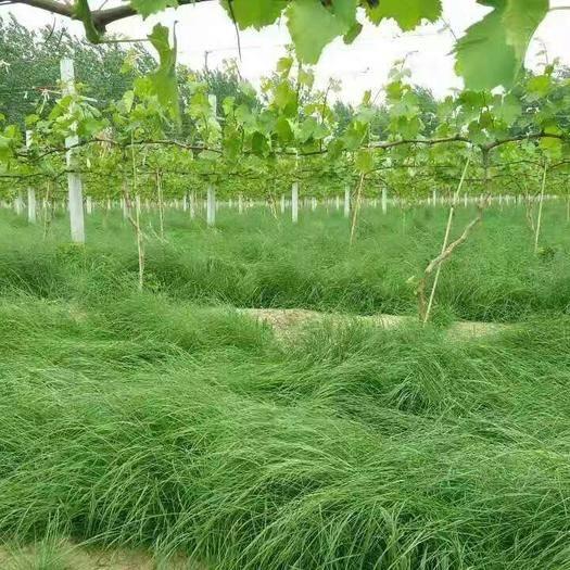 郑州中原区鼠茅草种子 果园绿肥草,有效解决果园杂草,给土壤提供充足养分