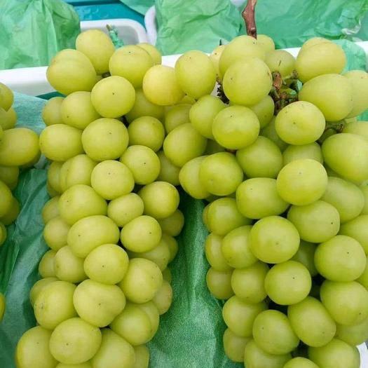 大荔县 阳光玫瑰葡萄大量供应