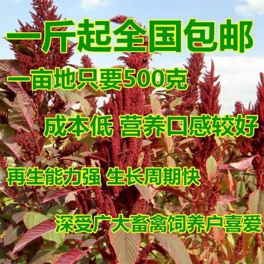 沭阳县 美国籽粒苋种子 千穗谷 高产牧草种子 猪鸡鸭鹅牛兔喜食
