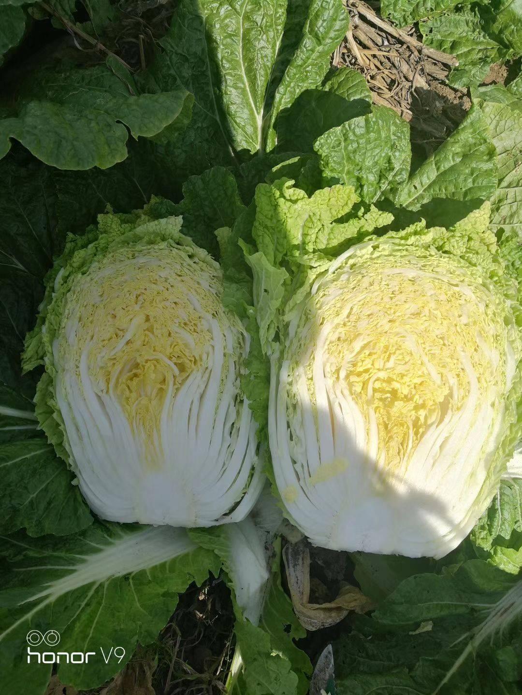 黄心大白菜 5-8 二毛菜