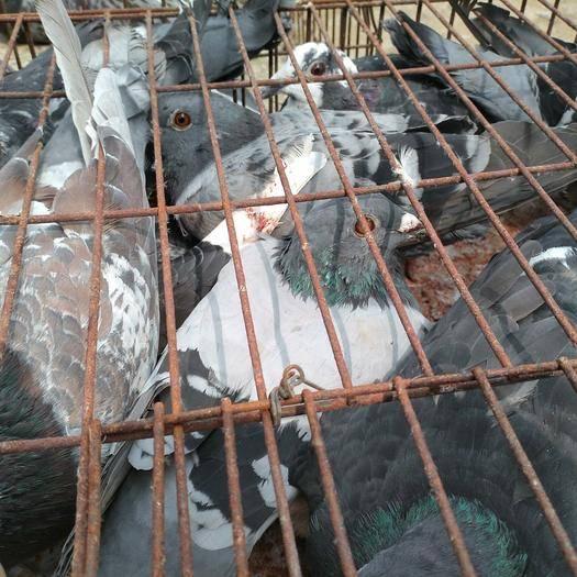 濟南商河縣 正宗老鴿信鴿