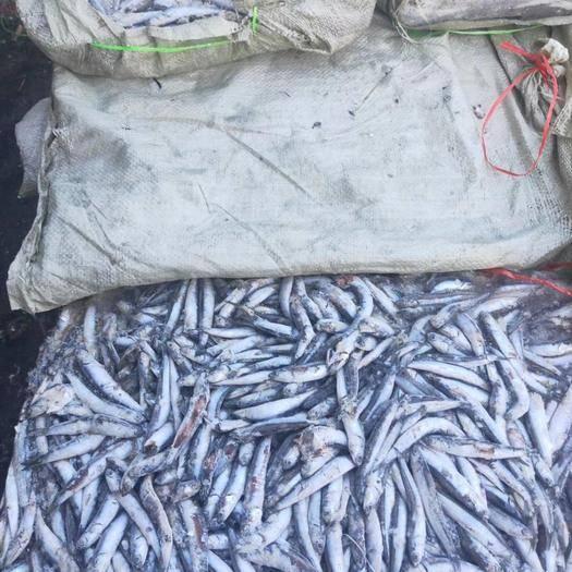 威海荣成市 饵料鱼鯷鱼沙里钻鱼