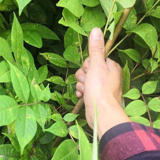 本溪桓仁滿族自治縣 苗地直銷批發一年生二年生關黃柏,黃菠蘿苗