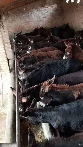 陇南礼县 出售大量肉驴。