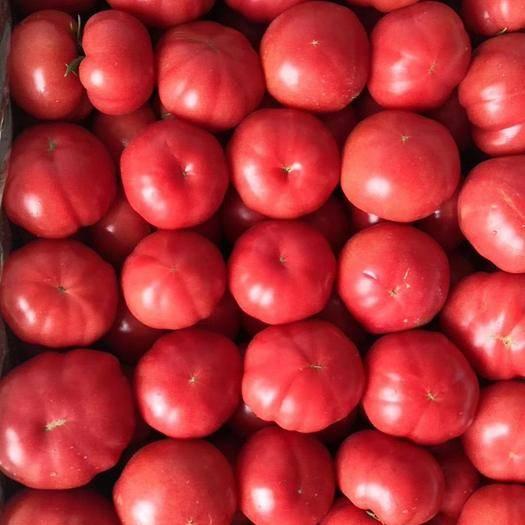 海陽市 海陽普羅旺斯西紅柿凈重5斤弧三以上一件代發落地