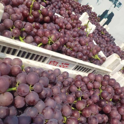 临朐县 临朐优质套袋巨峰葡萄大量上市