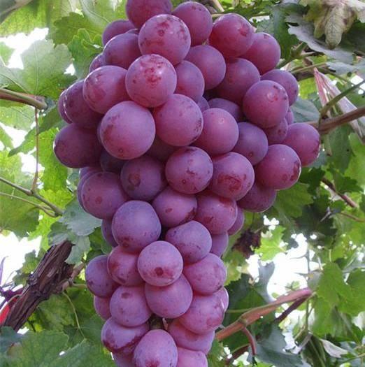 渭南 中国葡萄之乡 套袋无公害红提甜葡萄上市