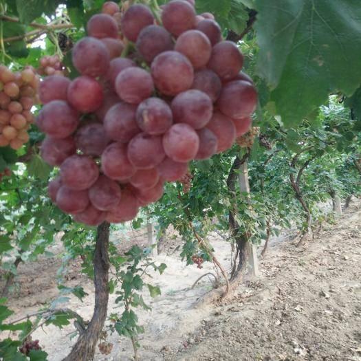 晋州市 千亩红提葡萄生态园