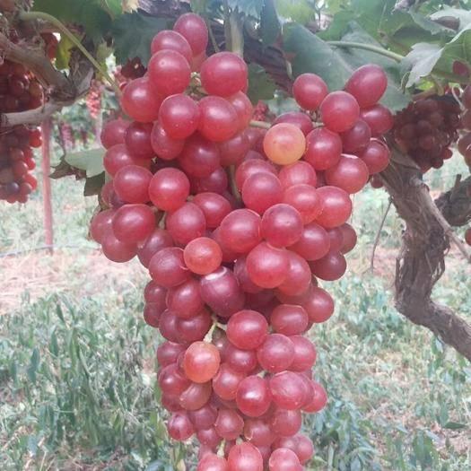枣阳市 红宝石葡萄