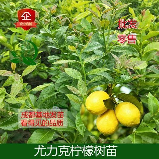 简阳市 安岳柠檬苗尤力克柠檬美国尤力克柠檬树苗柠檬树苗四川直销