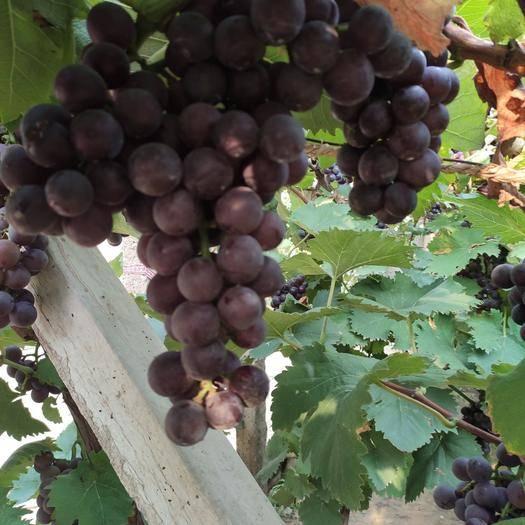 灯塔市香悦葡萄 0.8-1斤 5%以下 1次果