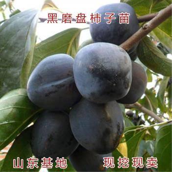 黑柿苗 日本黑柿,适应南北种植。