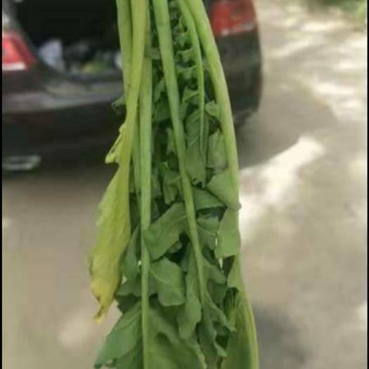 新疆维吾尔自治区乌鲁木齐市新市区 萝卜菜,萝卜缨,莱菔英30 cm