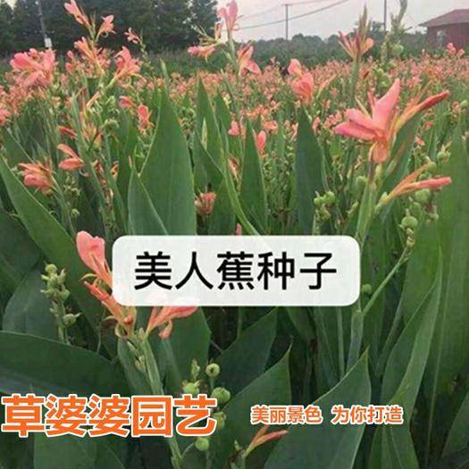 宿迁沭阳县 美人蕉种子新种子包邮