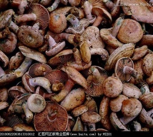 湖南省怀化市鹤城区松树菌 野生重阳菌