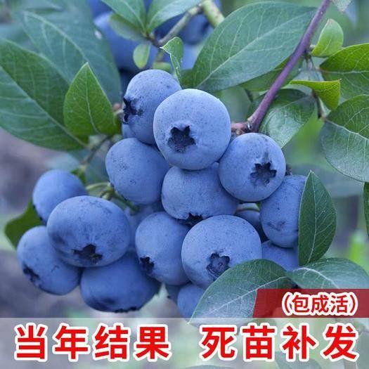 平邑縣藍豐藍莓苗 精品一級苗!兔眼,藍豐,薄霧,奧尼爾,萊克西。品種全,價格優