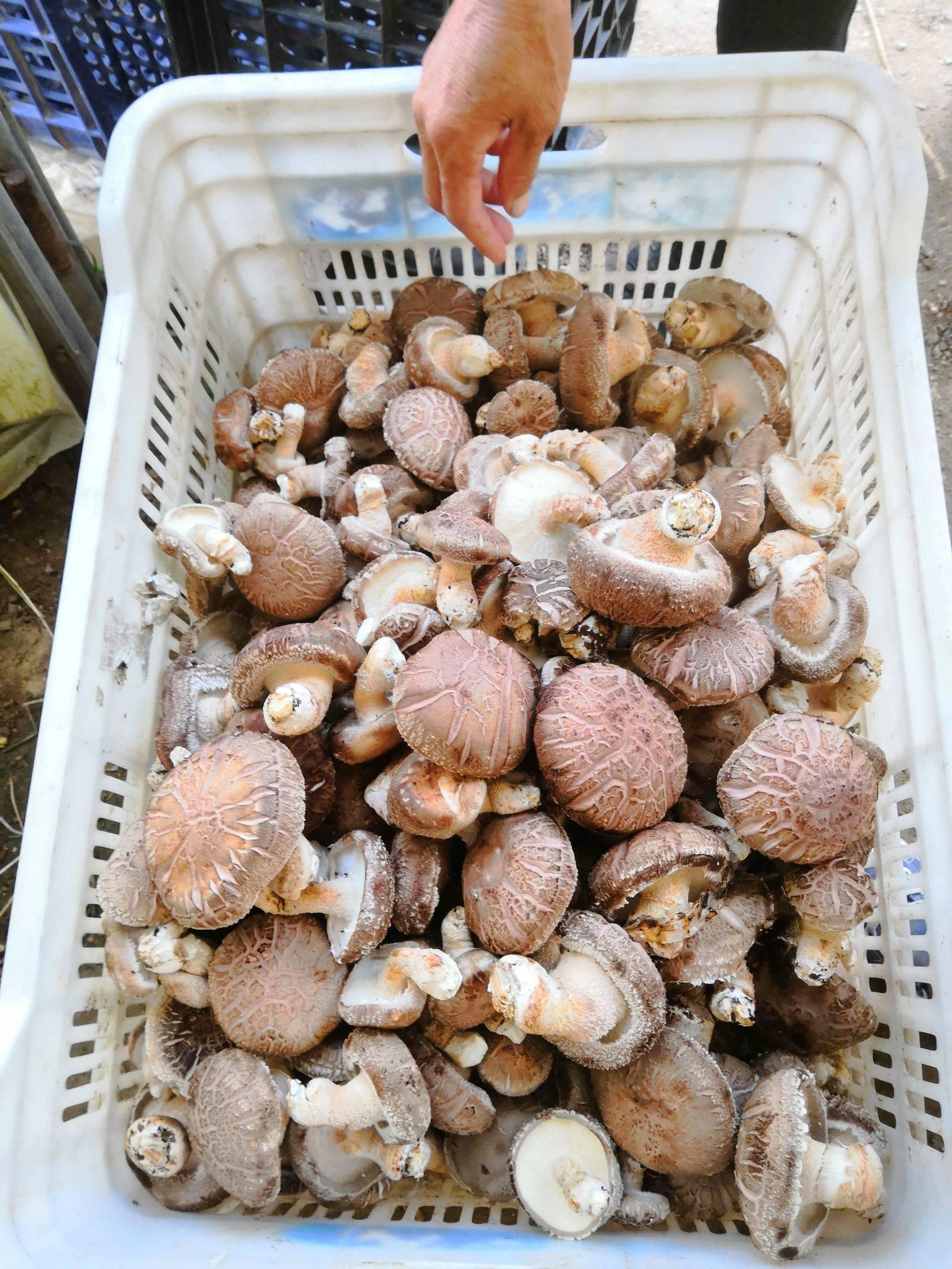 优质鲜香菇批发