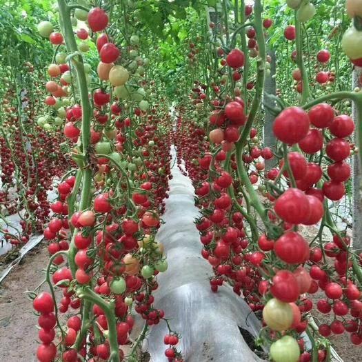 寿光市 圣女果苗 千禧苗子 樱桃番茄苗 贝贝番茄苗