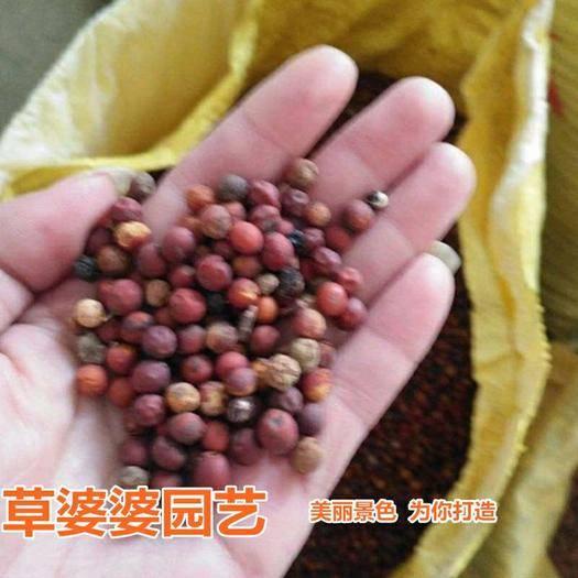 宿迁沭阳县 朴树种子新种子包邮