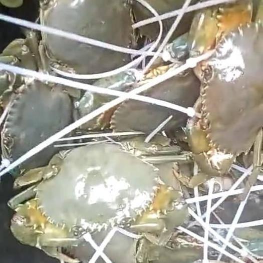 漳州漳浦县 大青蟹   细细绳  4两--1斤