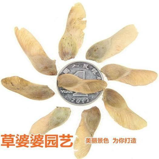 宿迁沭阳县 五角枫种子新种子包邮