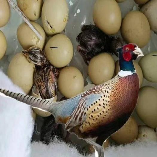 商丘虞城縣山雞種蛋 30枚包郵七彩可以浮化小雞的種蛋七彩山雞,種蛋