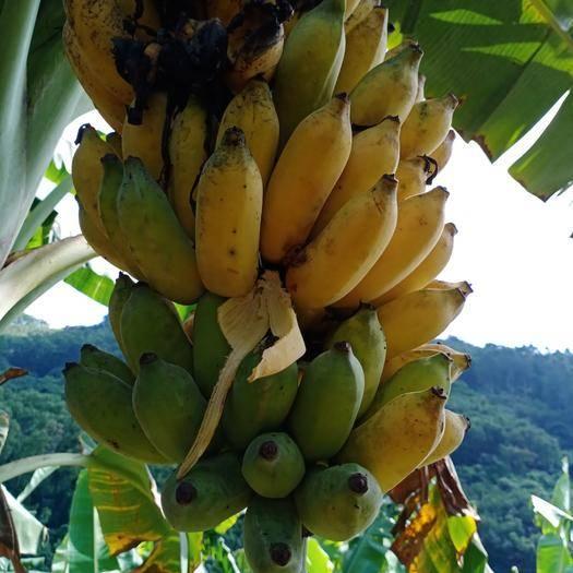 琼中黎族苗族自治县 自然熟天然香蕉。小粉蕉